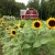 RambleRill barn and sunflowers