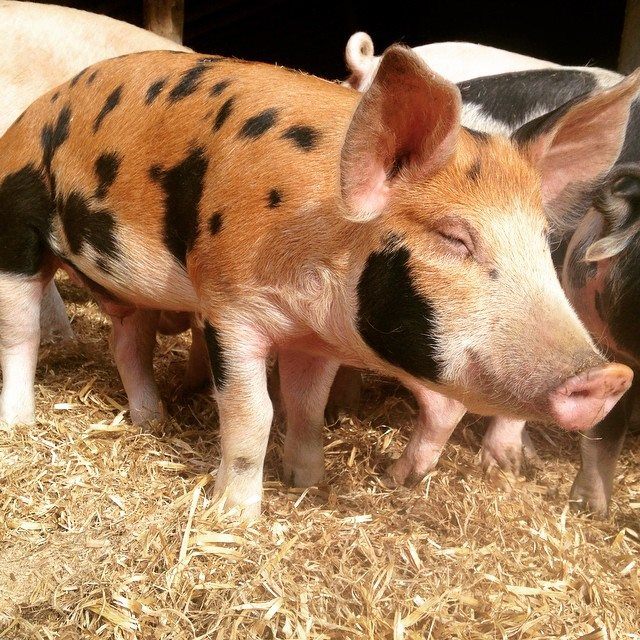 Pigs from Hickory Nut Gap Farm
