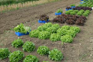 lettuce-trial-harvest