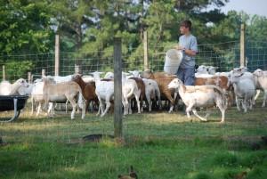 Heritage breed sheep at Bull City Farm