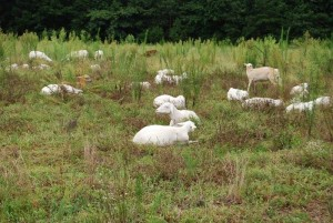 Pasture-raised sheep at Bull City Farm
