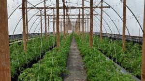 Tomato greenhouse at Vollmer Farm