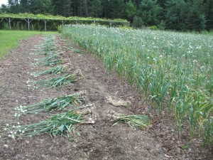 Garlic in the field