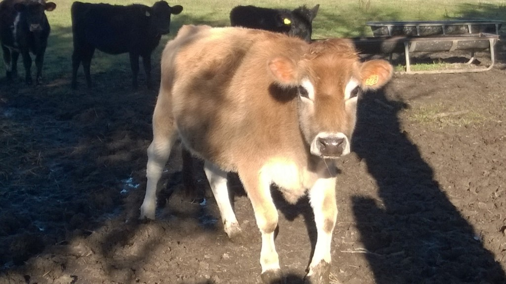 Cute Brown Cow from Reedy Fork Organic Dairy