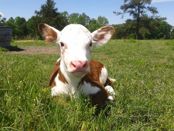 wil-moore-farm---calf