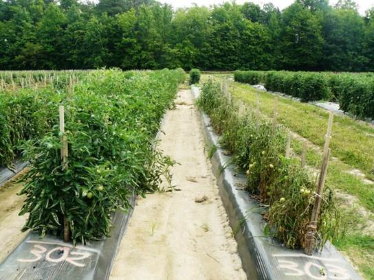 Grafted tomatoes vs. non-grafted
