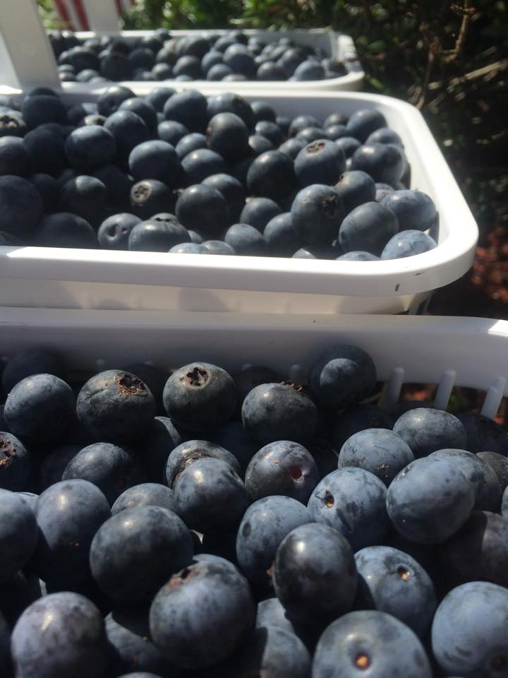 Blueberry Plant How To Grow Blueberries From Seed