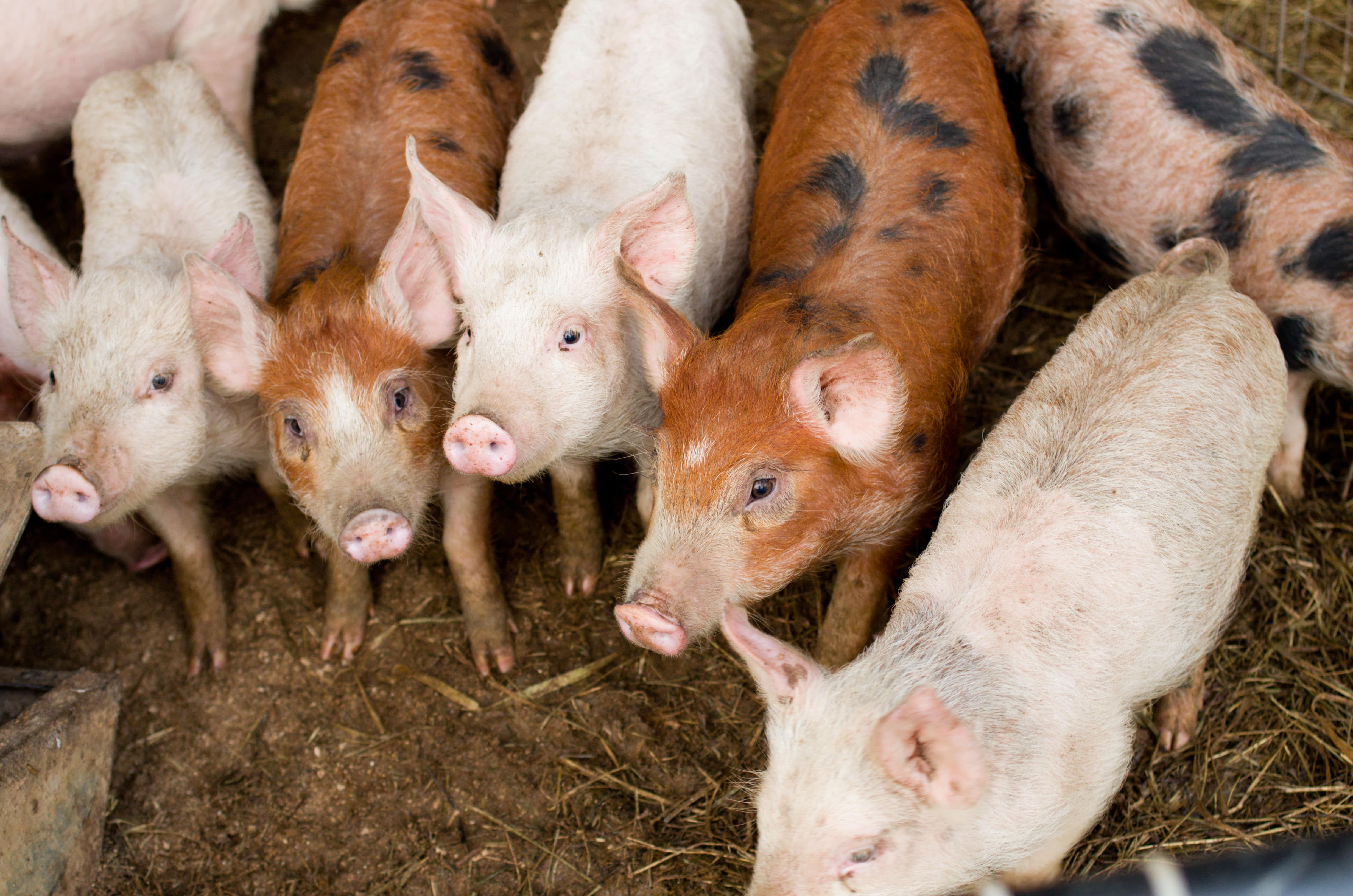 on farm pork credit Cindy Kunst and The Ethical Meat Handbook-min