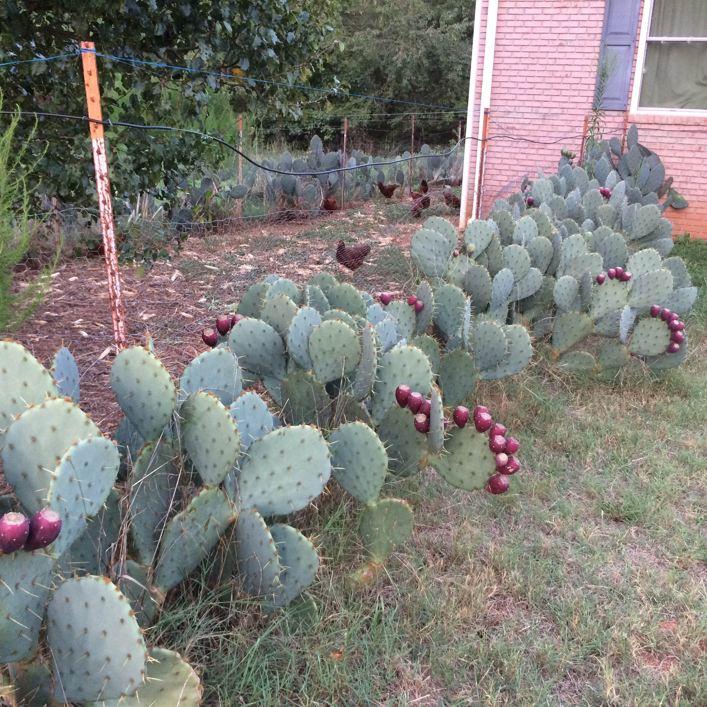 Prickly Pear Cactus Multi Use Plant For Farms And