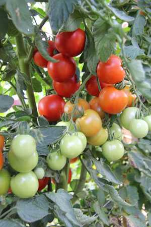 Tomatoes ripening at the NC State Mountain Horticultural Crops research station as part of the TOMI project