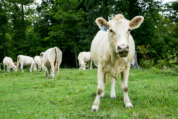 The cattle at BN Acres are exclusively grass-fed.