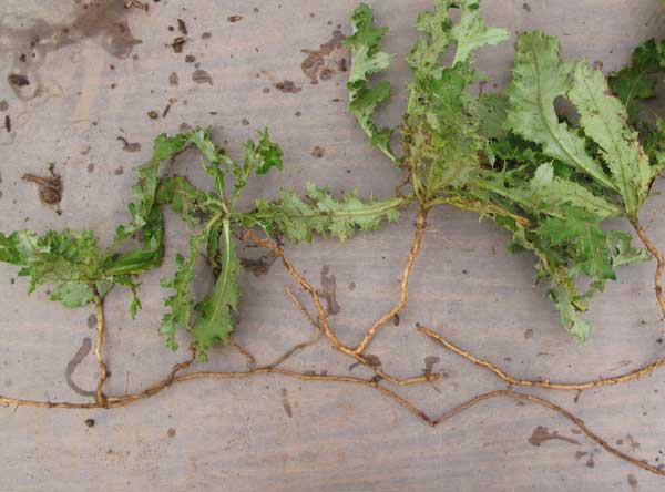 Rhizomes, such as those in this Canada thistle, store energy and help weeds to spread. Photo by Mark Dempsey.