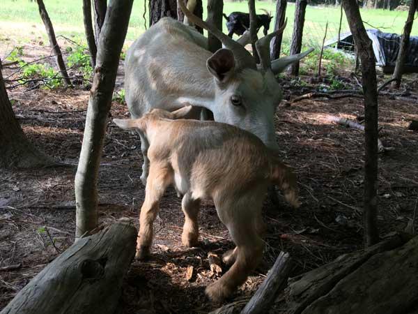 Chickcharney--goats