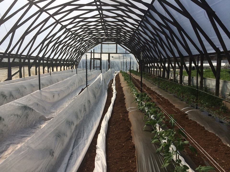 Row cover blanketing grafted and un-grafted heirloom tomatoes in a high tunnel at Lomax Farm.
