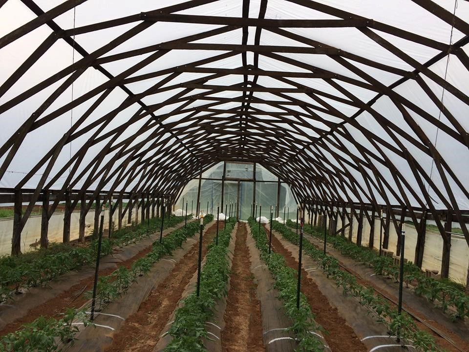 Early spring grafted and un-grafted heirloom tomatoes in a high tunnel at Lomax Farm.