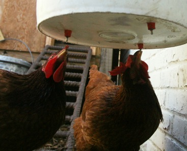 Chickens Free Water Equals More Free Time Carolina Farm