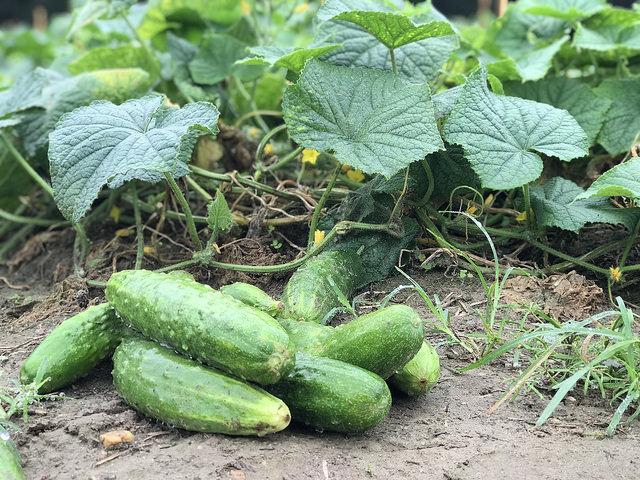 cucumbers in the field